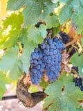 Groupes de raisins rouges s'élevant à Sétubal, Portugal Photos stock