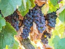 Groupes de raisins rouges s'élevant à Sétubal, Portugal Images libres de droits