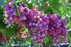 Groupes de raisins rouges sur la vigne photo stock