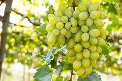 Groupes de raisins verts Image libre de droits