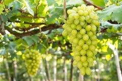 Groupes de raisins verts Images stock