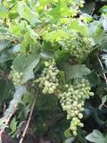 Groupes de raisins verts Photographie stock libre de droits