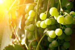 Groupes de raisins verts au soleil Images stock