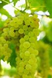 Groupes de raisins verts, dans la lumière ambiante. Photographie stock