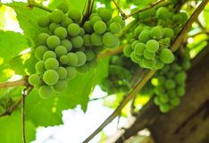 Groupes de raisins verts dans le soleil d'été Images stock