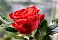 Groupes de Rose Photo stock