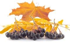 Groupes de sorbe noire sur des feuilles d'automne Images libres de droits