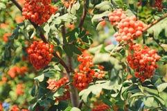 Groupes de sorbe rouge sur un arbre Beau fond d'automne images stock