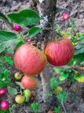 Groupes juteux de pommes sur les branches d'un pommier dans le jardin photos stock
