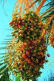 Groupes mûrs de palmier dattier Image libre de droits