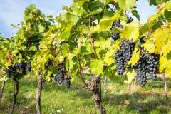 Groupes mûrs de raisins de cuve sur une vigne dans la lumière chaude Photo stock