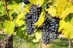 Groupes mûrs de raisins de cuve sur une vigne dans la lumière chaude Images libres de droits