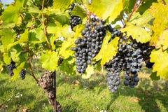 Groupes mûrs de raisins de cuve sur une vigne dans la lumière chaude Photos libres de droits