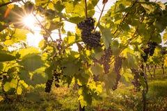 Groupes mûrs de raisins de cuve sur une vigne dans la lumière chaude Images stock
