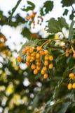 groupes pas mûrs de viburnum sur l'arbre dans le jardin images stock