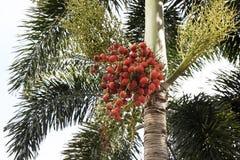 Groupes rouges de dates de palmier Images libres de droits