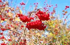 Groupes rouges lumineux de baies de Viburnum sur les branches Photographie stock