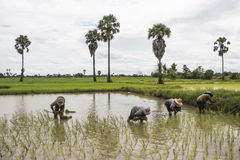Groupez le riz debout d'usine d'agriculteur asiatique dans le domaine Photographie stock libre de droits