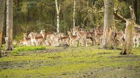 Groupez les animaux sauvages timides sont dans les bois et observent le secteur Automne Photographie stock