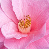 Grouping. A close-up shot of an early blooming camellia Royalty Free Stock Image