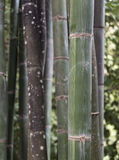 Grouping of bamboo plants stock photos