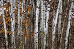 Grouping of Birch Trees. In winter forest standing vertical Stock Images