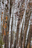 Grouping of Birch Trees. In winter forest standing vertical Royalty Free Stock Photo