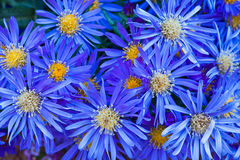 Grouping of Blue Daisies Royalty Free Stock Photo