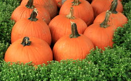 Grouping of colorful orange pumpkins tucked in between hardy mums Stock Photos