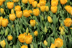 Grouping of colorful yellow tulips in pretty landscaped garden Royalty Free Stock Image