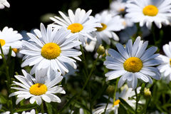 Grouping of Daisies Stock Image