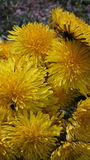 Grouping of dandelions. Close up of dandelion flowers with detailed petals Royalty Free Stock Images