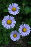 Grouping of Four Alpine Aster Flowers Stock Photo