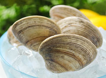 Fresh Clams Stock Photography