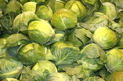 Grouping of Fresh Green Cabbages Royalty Free Stock Image