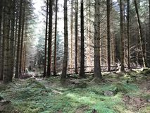 Grouping of pine tree forest near Inverness Scotland, United Kin. Gdom Europe Royalty Free Stock Photography