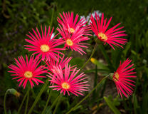 Grouping of Red African Daisies Stock Image
