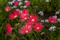 Grouping of Red African Daisies. In vibrant color Stock Image