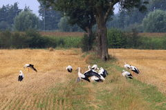 Grouping storks in dutch fields, Brummen Stock Photos