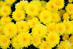 Grouping of Yellow Carnations Stock Image