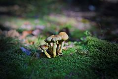 Groups of autumn fungi in forest Royalty Free Stock Photography