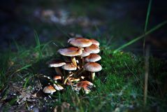 Groups of autumn fungi in forest Stock Photos