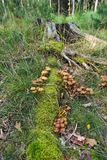 Groups of autumn mushrooms on a stump royalty free stock photos