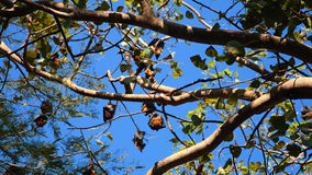 Groups of bats, Lyle's flying fox Royalty Free Stock Images