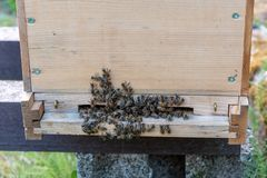 Groups of bees at beehive. Groups of bees at the entrance of a hive stock images