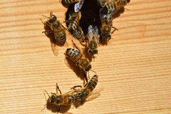 Groups of bees. Swarming in a hive stock image