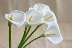 Groups of Calla flowers Royalty Free Stock Photo