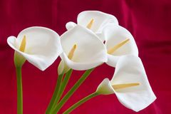 Groups of Calla flowers Royalty Free Stock Images