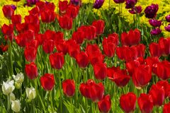 Groups of colorful tulips in the park royalty free stock photography