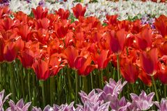 Groups of colorful tulips in the park. Groups of colorful tulips on a flowerbed in the park Royalty Free Stock Photo